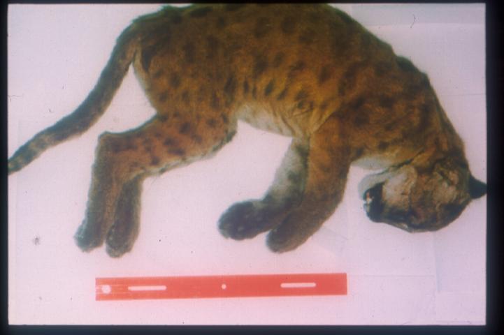 Cougars in richmond va