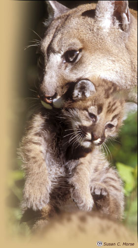 http://www.easterncougar.org/Images/mountain-lion-cub.jpg